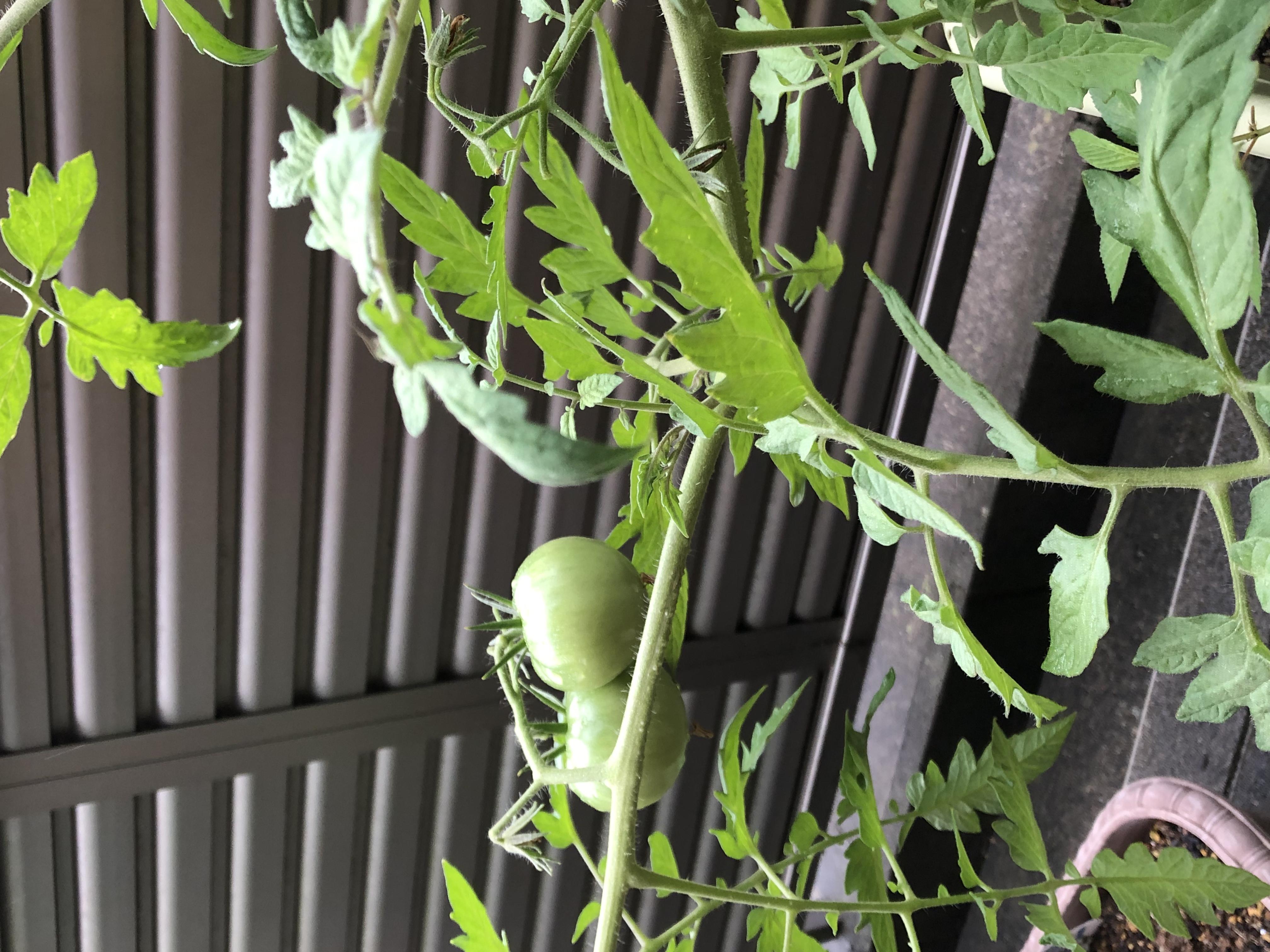 夏野菜の成長②